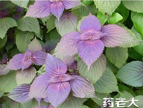 紫蘇提取物
